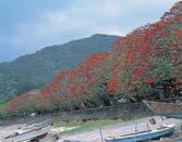 諸鈍のデイゴ並木(加計呂麻島)