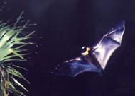 エラブオオコウモリ
