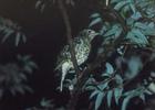 オオトラツグミ